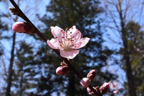 ハナモモの種類,花桃