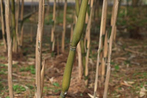 ラッキョウ矢竹,画像