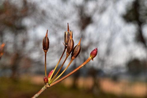 ドウダンツツジ 冬芽 種子