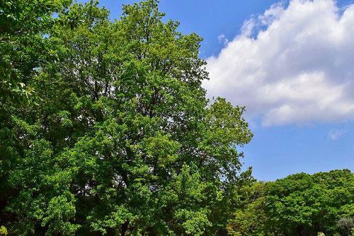 トウカエデ 庭木図鑑 画像
