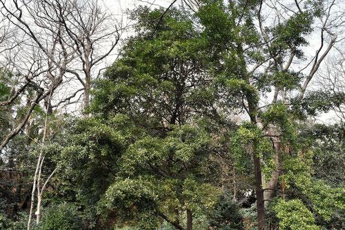 クロキ 樹木 画像