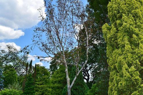 シラカバの木の種類