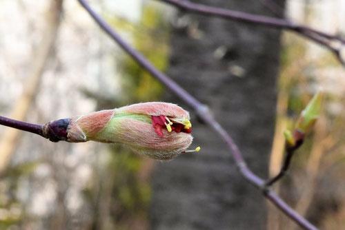 名月楓,花