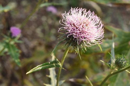 毬薊,植物