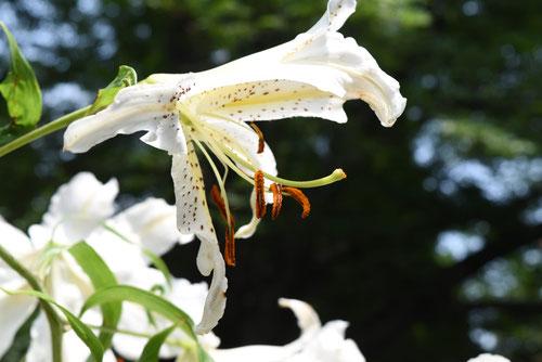 yamayuri、flower