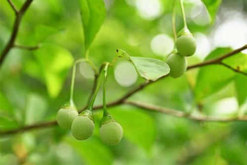 エゴノキ 種子