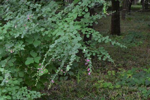 Bush clover,flower