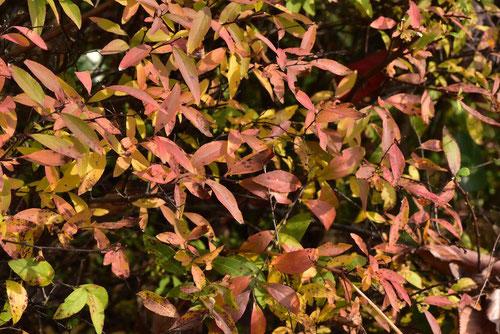 ユキヤナギ 黄葉