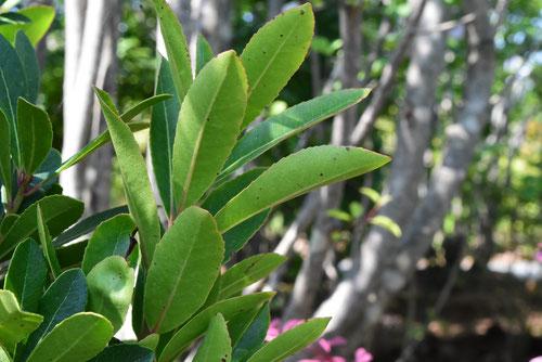 ストロベリーツリー,いちごのき,葉っぱ