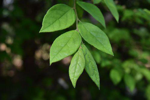 トキワマンサクの葉っぱ 画像