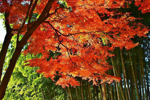 Japanese maple and bamboo