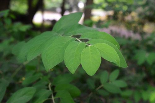 ヒョウタンボク 葉っぱ 特徴