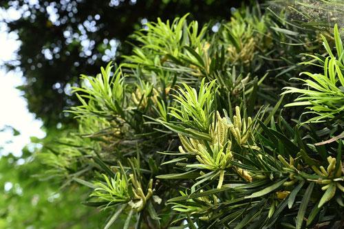 槙の木の花