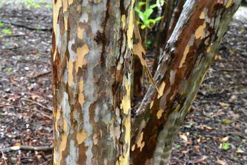 リョウブ 樹皮