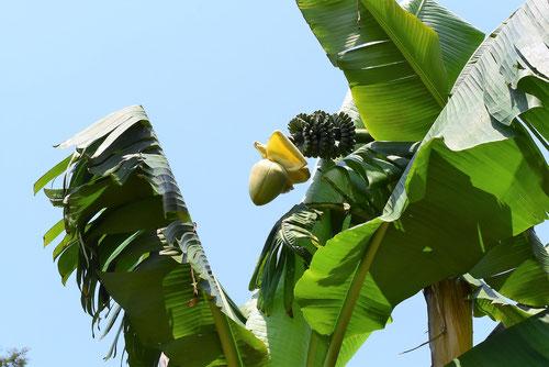 外にバナナみたいな実