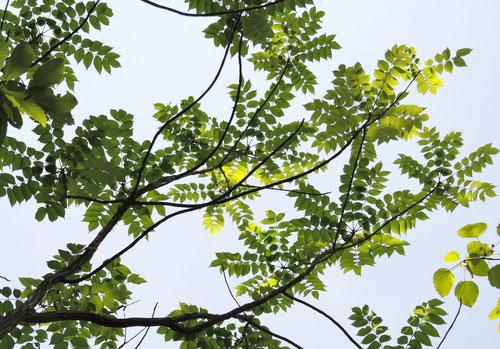 山漆の木の特徴