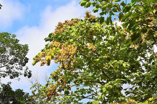 青桐の木,あおぎり,特徴