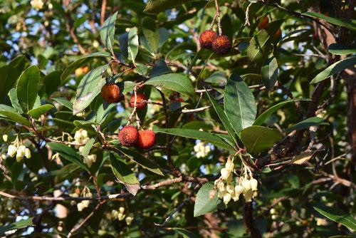 himeitigonoki,fruits