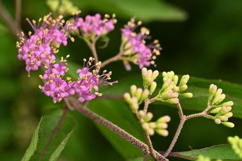 開花時期,小紫,コムラサキ