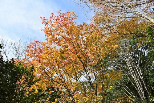 Japanese tallow tree