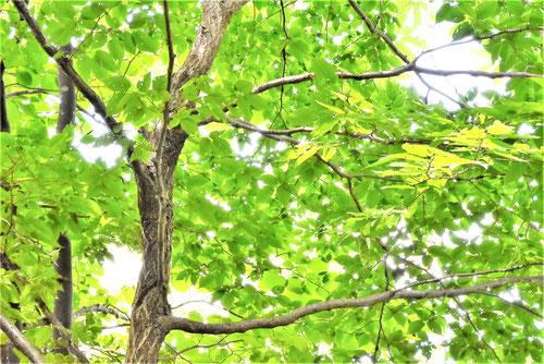 サワシバ,樹木,特徴