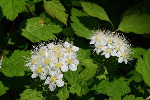 白い花のシモツケ