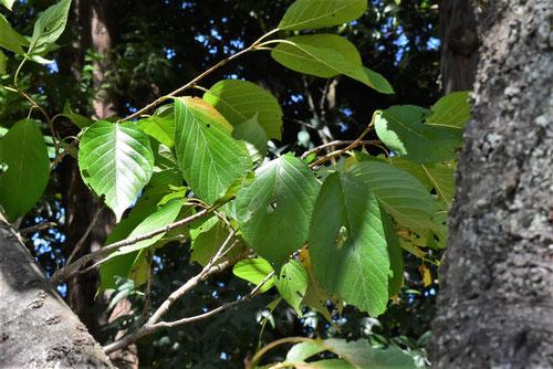 フゲンゾウザクラ,葉っぱ