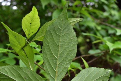 むらさきしきぶ 葉っぱ 庭木
