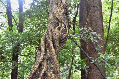 ノダフジ 樹皮