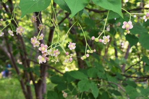 ツリバナ 花 画像