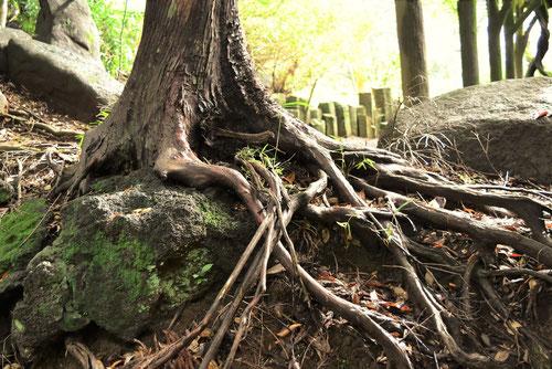 あすなろの木