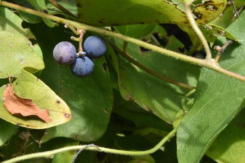 黒紫色の実がなる蔓