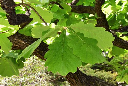 柏の葉っぱ 画像