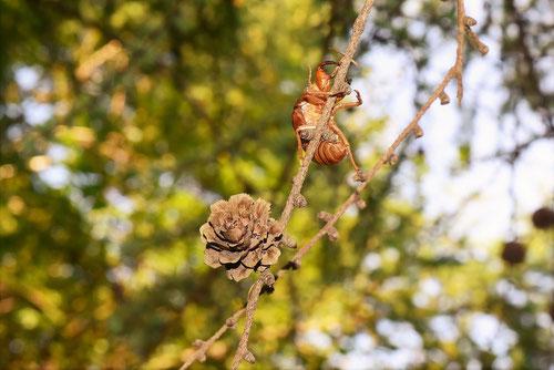 Japanese larch,conifer