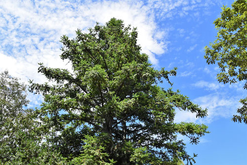 広葉杉,庭木図鑑,画像