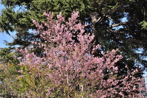 Wild Himalayan Cherry,flowers
