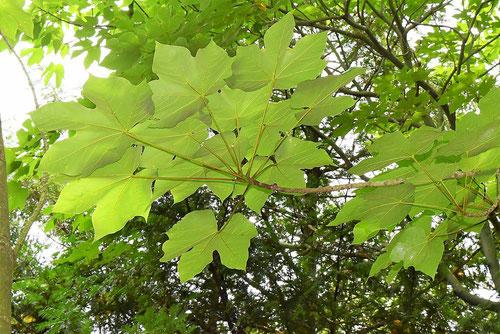アオギリの葉っぱ
