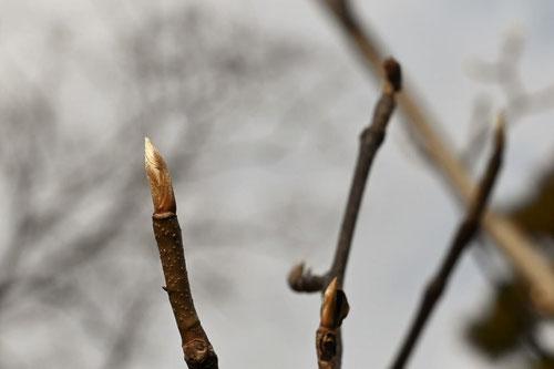 Japanese wingnut,winter