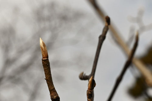 Japanese wingnut,winter