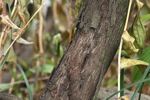 エリカの木の樹皮