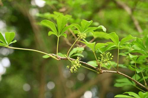やまうこぎの木の花