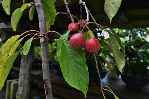 海棠 実 リンゴ