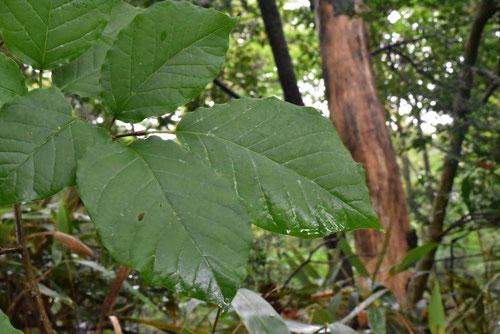 白木という樹木 特徴
