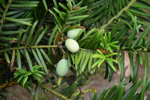 Japanese plum yew,fruits