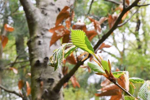 橅,葉,新芽,ぶな