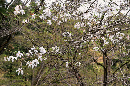 タムシバの木,樹木図鑑