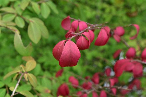 小真弓,植木,黄葉