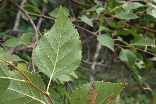 コオノオレの木