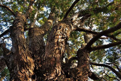 ニッコウヒバ,しのぶひば,巨木