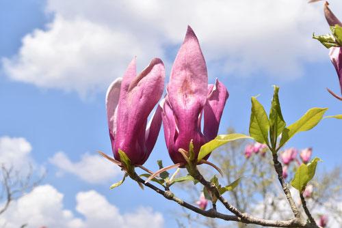 シモクレンの花